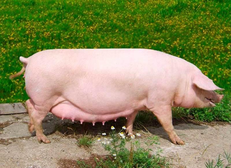 Супоросная свинья