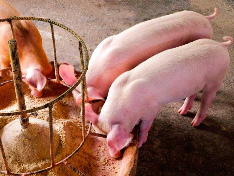 Выбор кормов свиньям