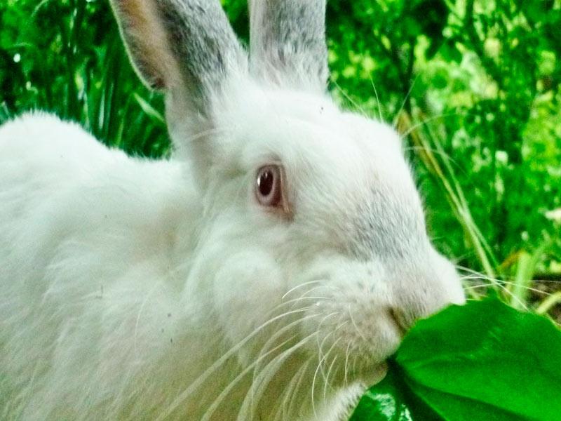Можно ли кролику щавель