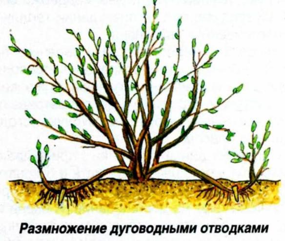 Размножение крыжовника весной