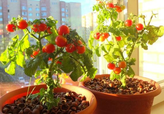 Как вырастить помидоры на балконе в домашних условиях из ...