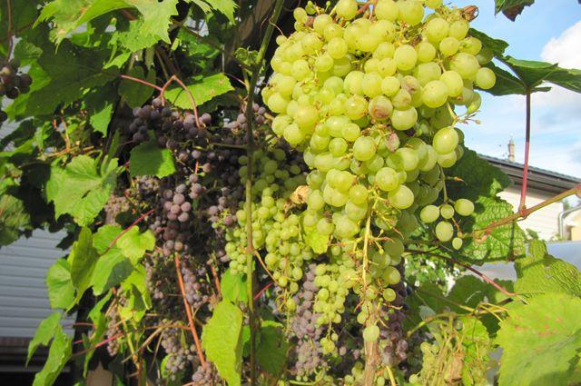 Какой виноград не боится мороза