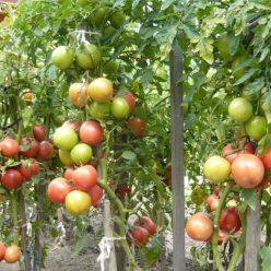 Уход за томатами в конце августа