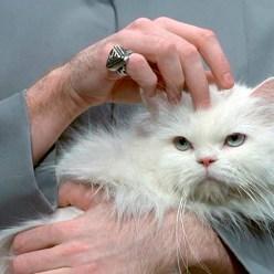 Развеян миф о гипоаллергенных кошках
