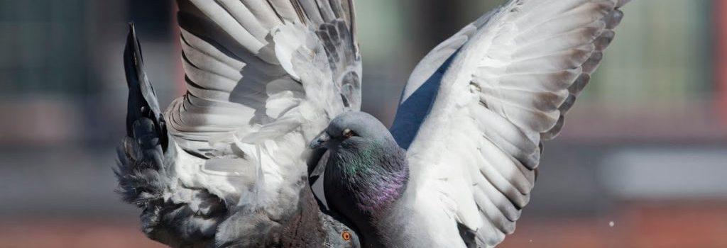 Голуби теряют пальцы из-за человеческих волос