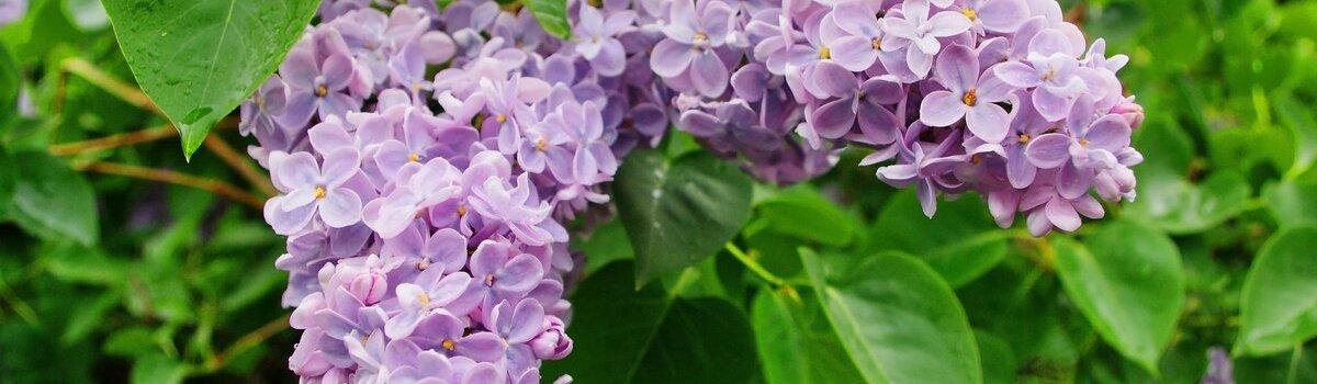 Сирень листья – от ран и мигрени, цветки – от варикоза и артрита