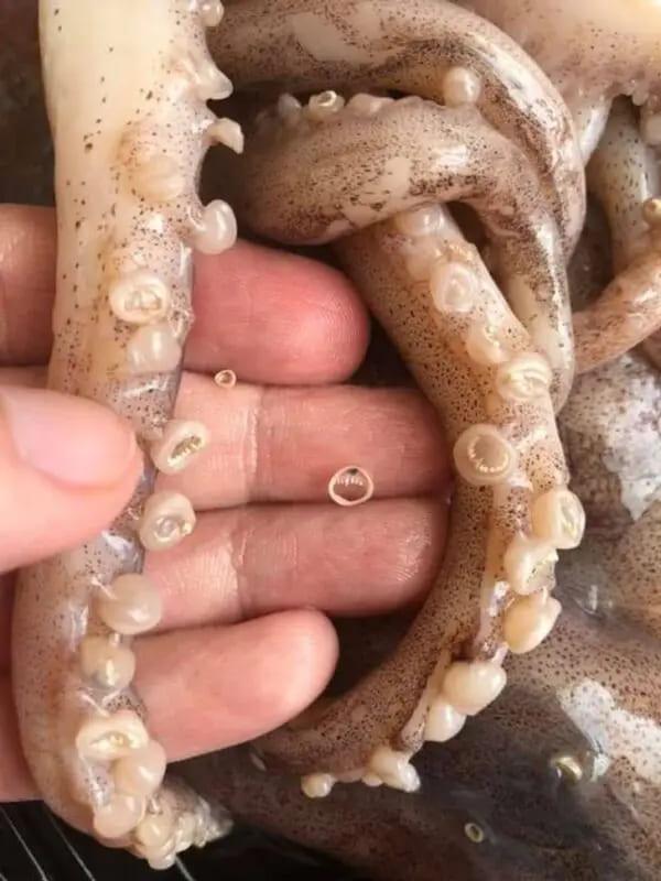 Присоски кальмаров