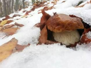 vrganj ispod snijega u Sloveniji