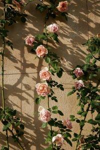 Climbing roses, Corsini di San Giuliano residence.