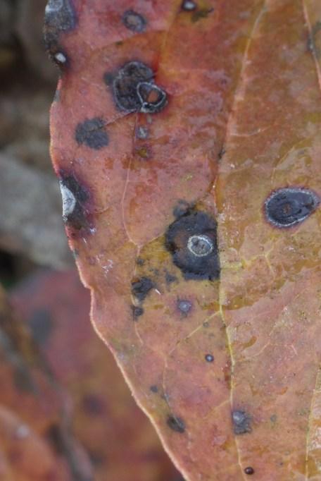 peony in autumn