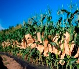 New efforts to breed sweet corn for Vermont farmers