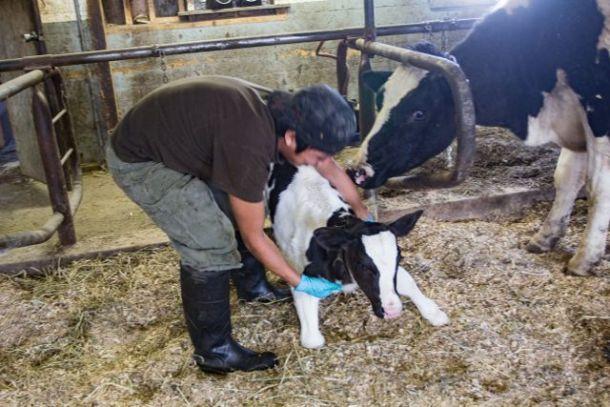Migrant dairy worker, calf