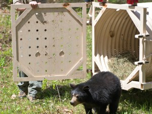 young bear release