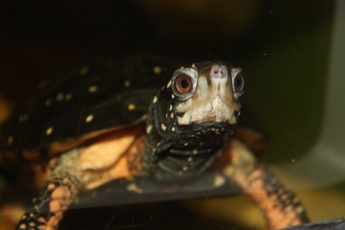 Spotted Turtle. Wikipedia image.