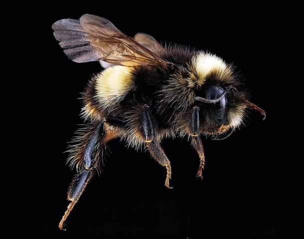 Yellow banded bumble bee.  Photo by Sam Droege/USGS.
