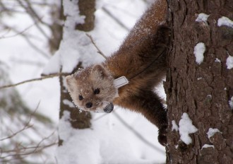 A marten with a radio collar descends a tree in this photo taken by the New York Department of Environmental Conservation. Martens are excellent climbers, like their larger relative the fisher.