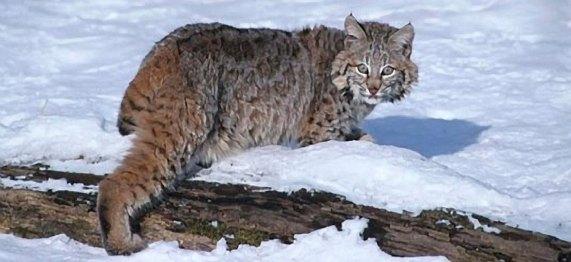 Eastern Bobcat | Vermont Fish & Wildlife Department