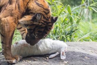 Voederen tijger Diergaarde Blijdorp2