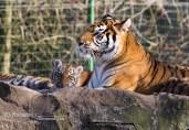 Tijgers Olmense zoo (2)