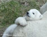 ijsbeertje (4)
