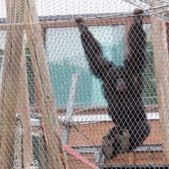 Stichting AAP Chimpansee