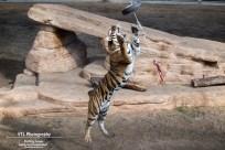 jagende tijger