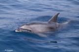 Dolfijn Los Gigantes Tenerife