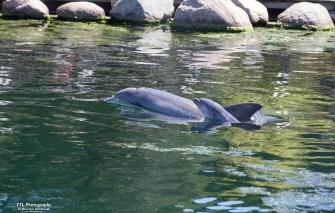 Dolfijn Roxy en haar kalfje