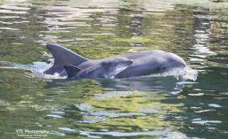 Dolfijntje geboren in Dolfinarium 2017