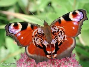 Bướm hổ ở thung lũng bướm thổ nhĩ kỳ