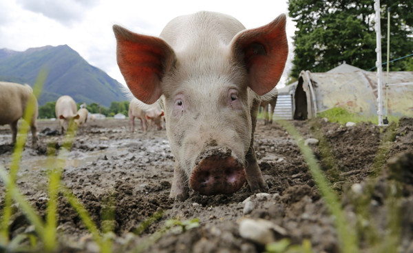 Scientists have successfully resurrected the brains of dead pigs. (Image: via pixabay / CC0 1.0)