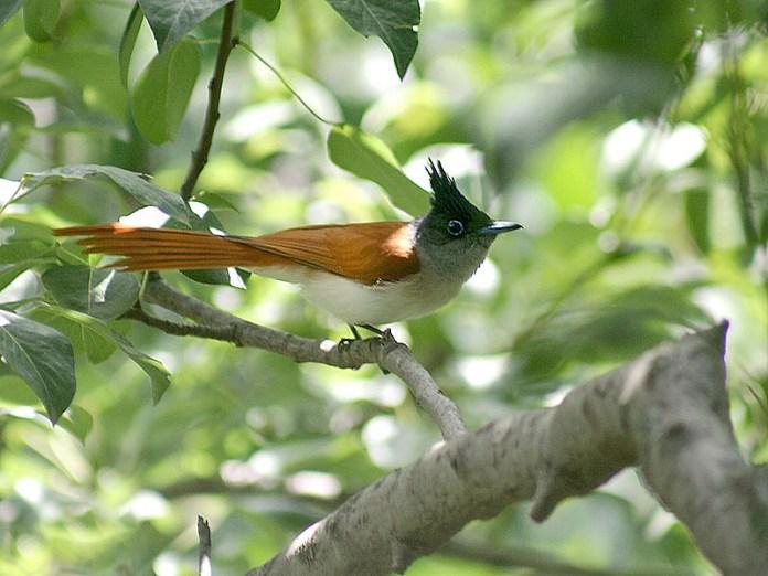 sian Paradise Flycatcher bird