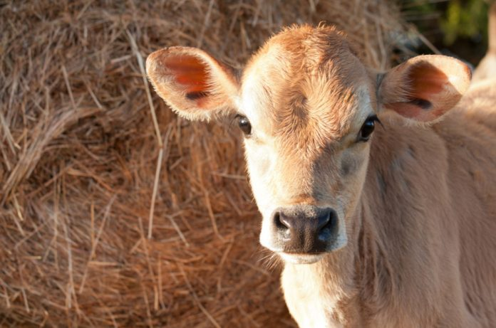 Closeup of friesen dairy cow calf in front of a hay bale.