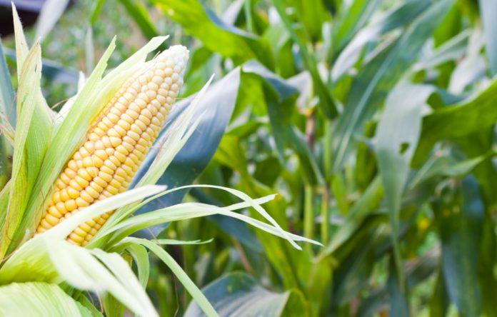 Closeup of an ear of corn in a corn field.
