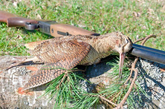 Trophy Hunting - Woodcock closeup.