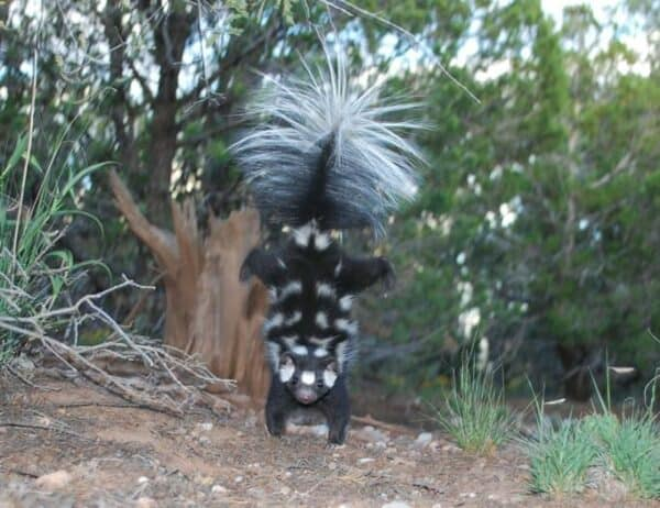 A spotted skunk doing a handstand to frighten away predators.
