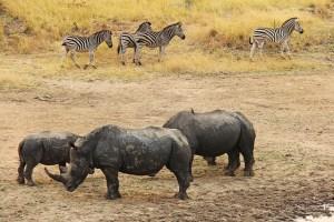 rhino-1221518_640