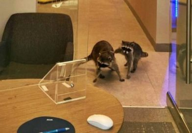 These Two Juvenile Raccoons Just Broke Into A Bank In California To Steal Cookies