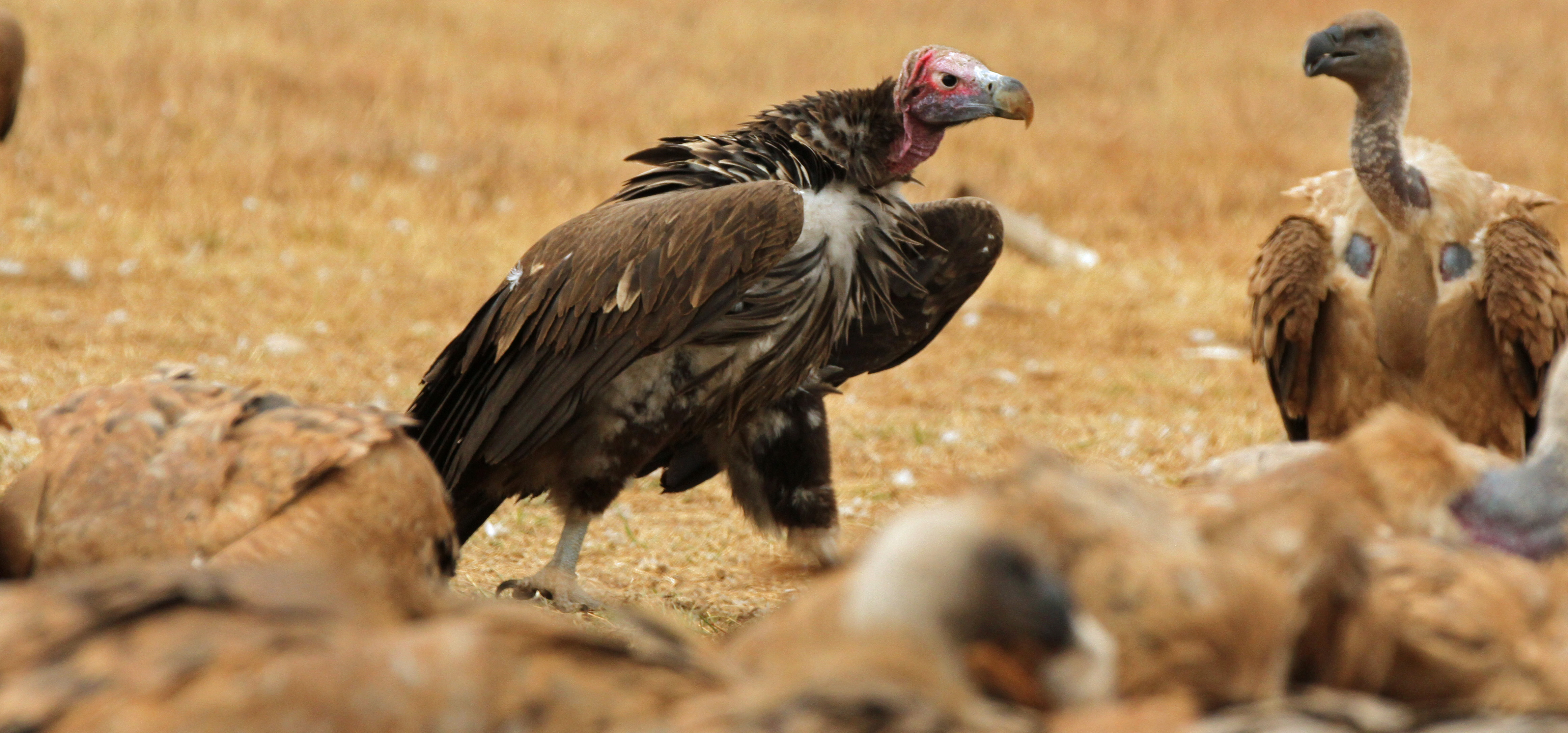 Lappet Faced Vulture Bearded Gallery