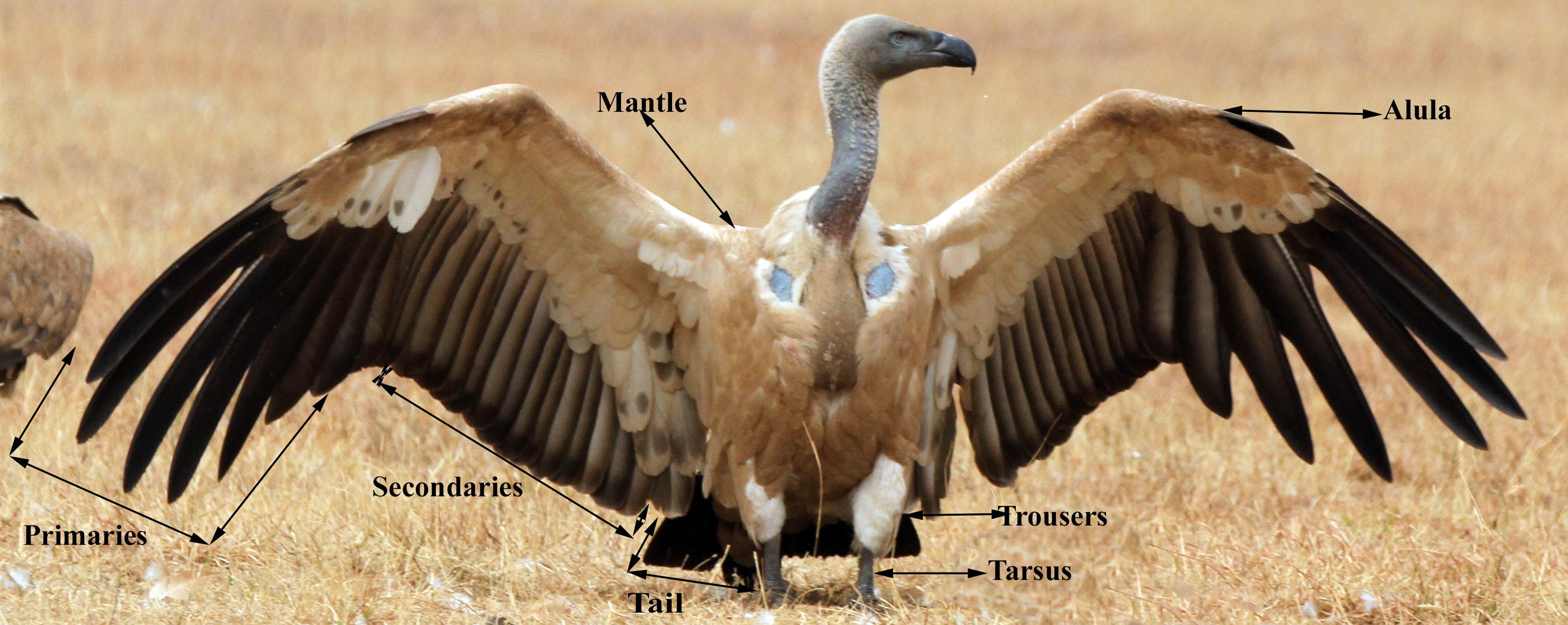 Parts Of A Vulture Vulpro Kid S Corner