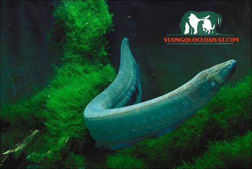cá chình điện và cá sấu