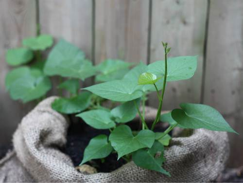 Cách trồng khoai lang trong bao đất bằng mầm ươm từ củ khoai - 11