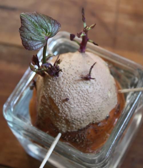Cách trồng khoai lang trong bao đất bằng mầm ươm từ củ khoai - 4