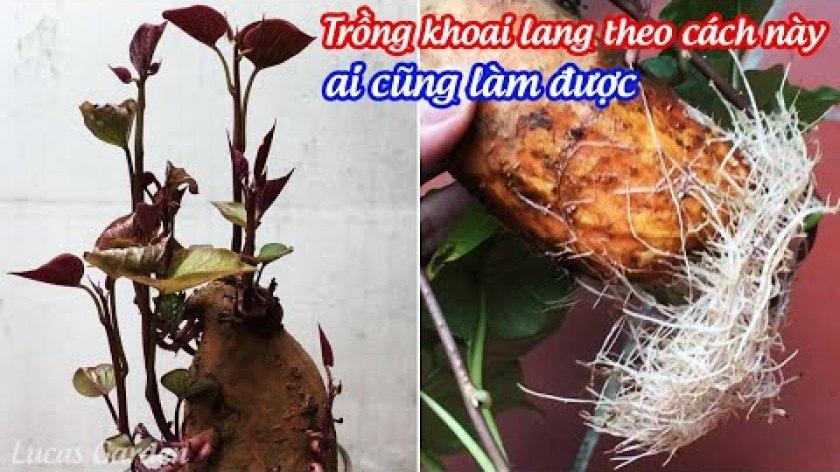 cách nấu khoai lang - Cách trồng khoai lang bằng củ giờ đây không phải là dễ mà là quá dễ - Growing sweet potatoes