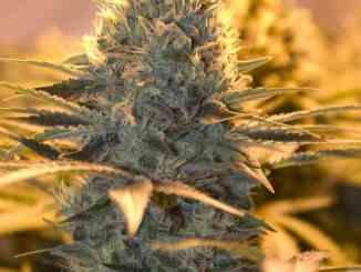Indoor vs. Outdoor : uzgoj marihuane!