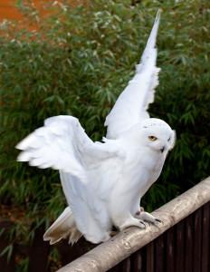 snowy owl, Hedwig