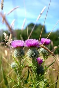 Scottish Highlands, thistle