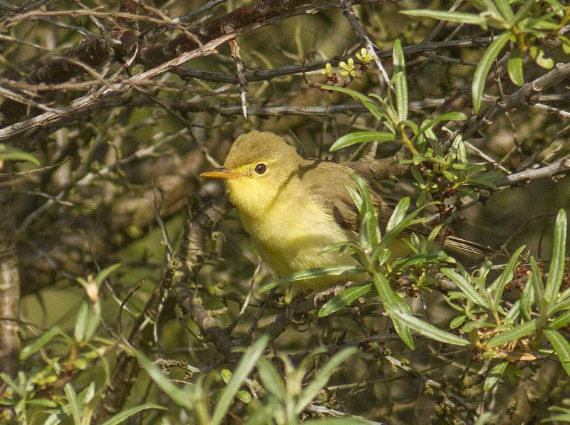 Orpheusspotvogel