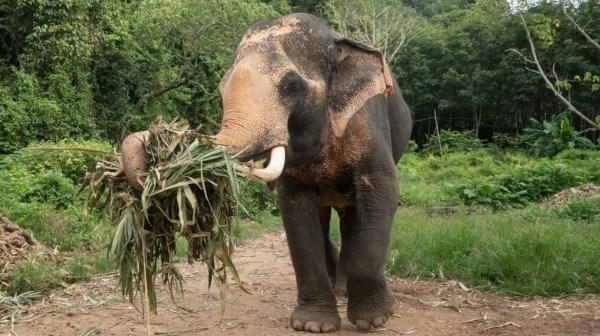 Gabon: Des éléphants détruisent des plantations dans la Ngounié