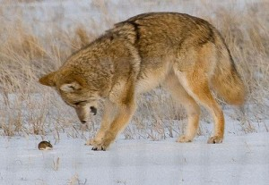 coyote mouse